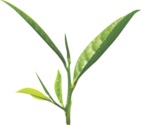 Tea leaves png. Green mages herbal images