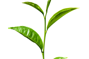 Green tea leaves png. Image related wallpapers