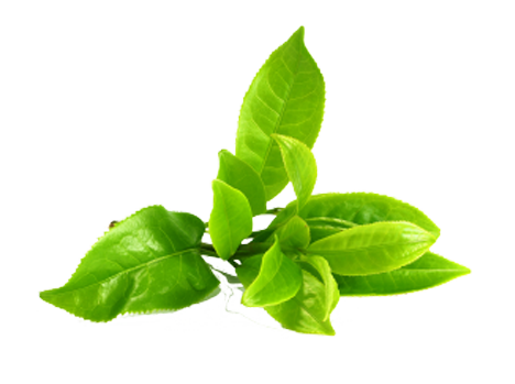 Green tea leaves png. Our commitment sanara extract