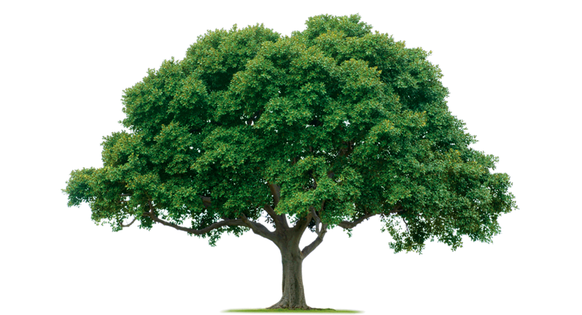Green tree png. Image purepng free transparent