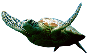 Turtle png. Hd image in our