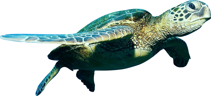 sea turtle png