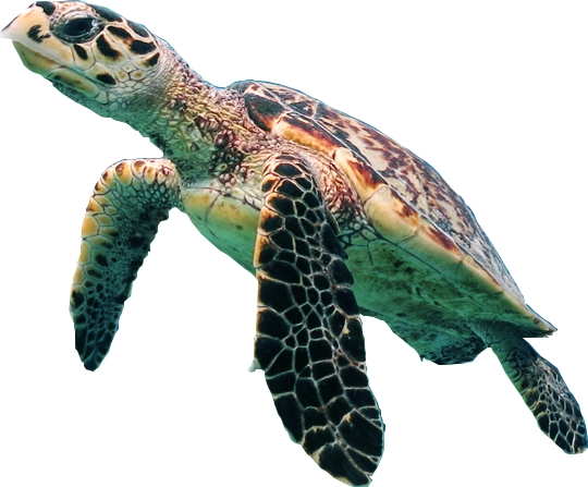 png turtle