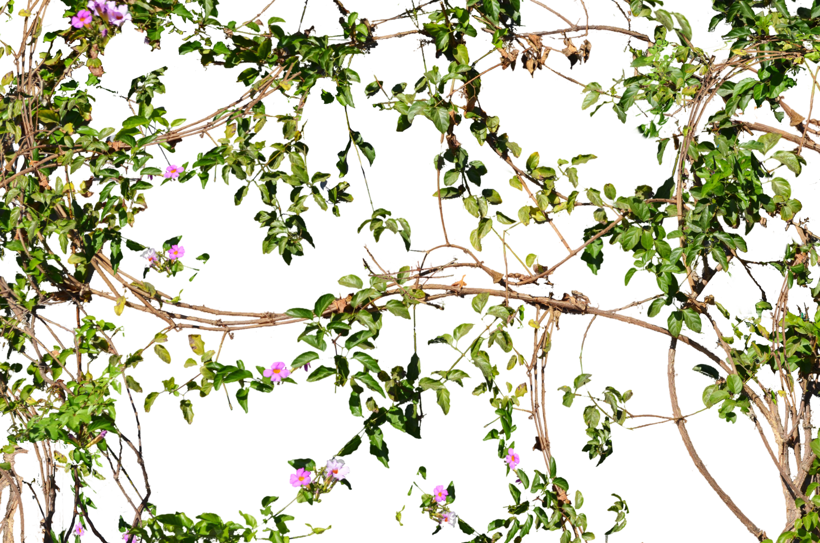 Green wall texture png. Vines flowers growing on