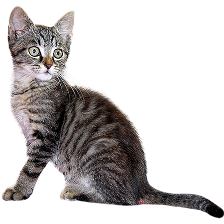 Kittens transparent gray. A cutout and adorable