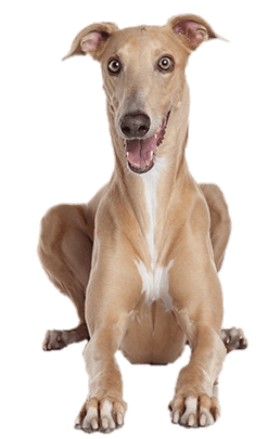 Greyhound vector design. Download free png lying