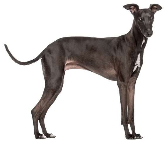 Greyhound vector old. Italian dog breed facts