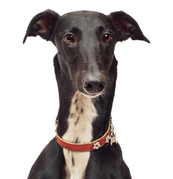 Greyhound vector old. Italian puppies dogs
