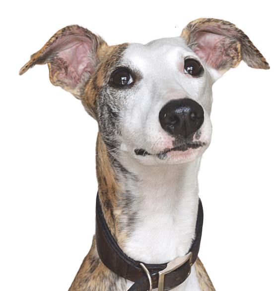 Greyhound vector whippet dog. Italian puppies dogs