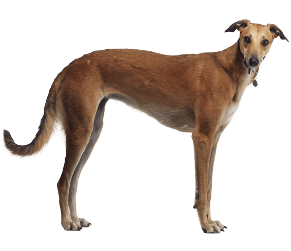 Greyhound vector transparent. Dog breed facts and