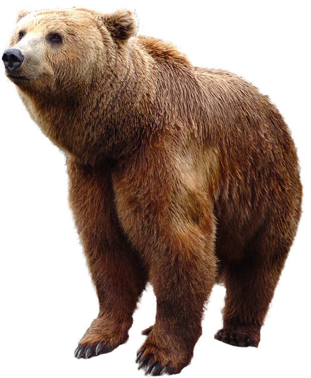 Grizzly bear png. Standing image purepng free