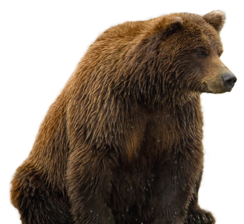 Grizzly bear png. Transparent image pngpix
