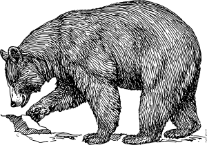 Grizzly drawing black bear. Clip art open source