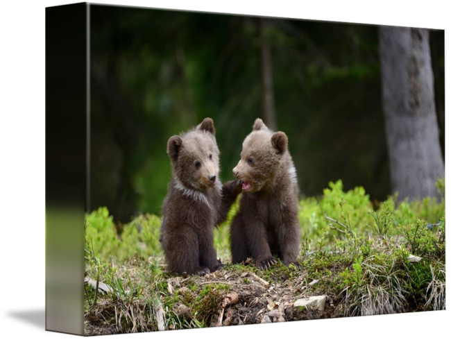 Grizzly drawing forest. Two cute bear cubs