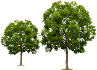 Group of trees png. You need them its