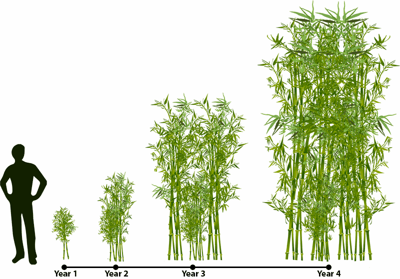 Sprout clipart grass seed. How does bamboo grow