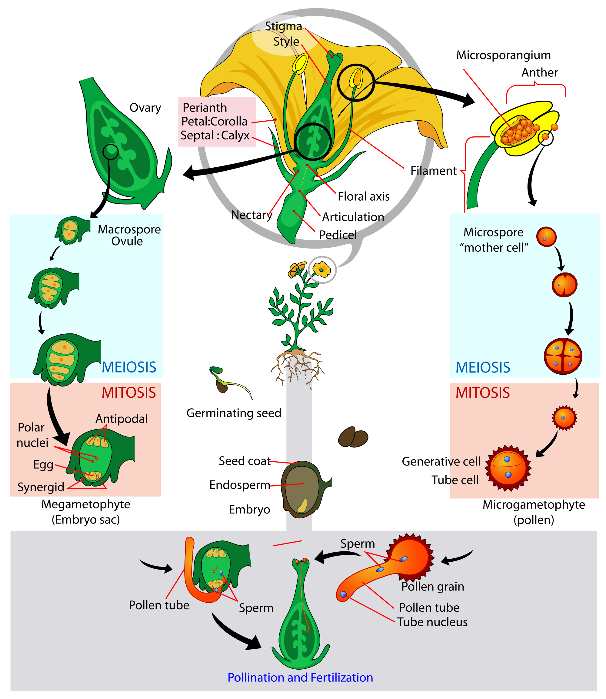 Growth drawing life cycle. Angiosperm flowering plant diagram