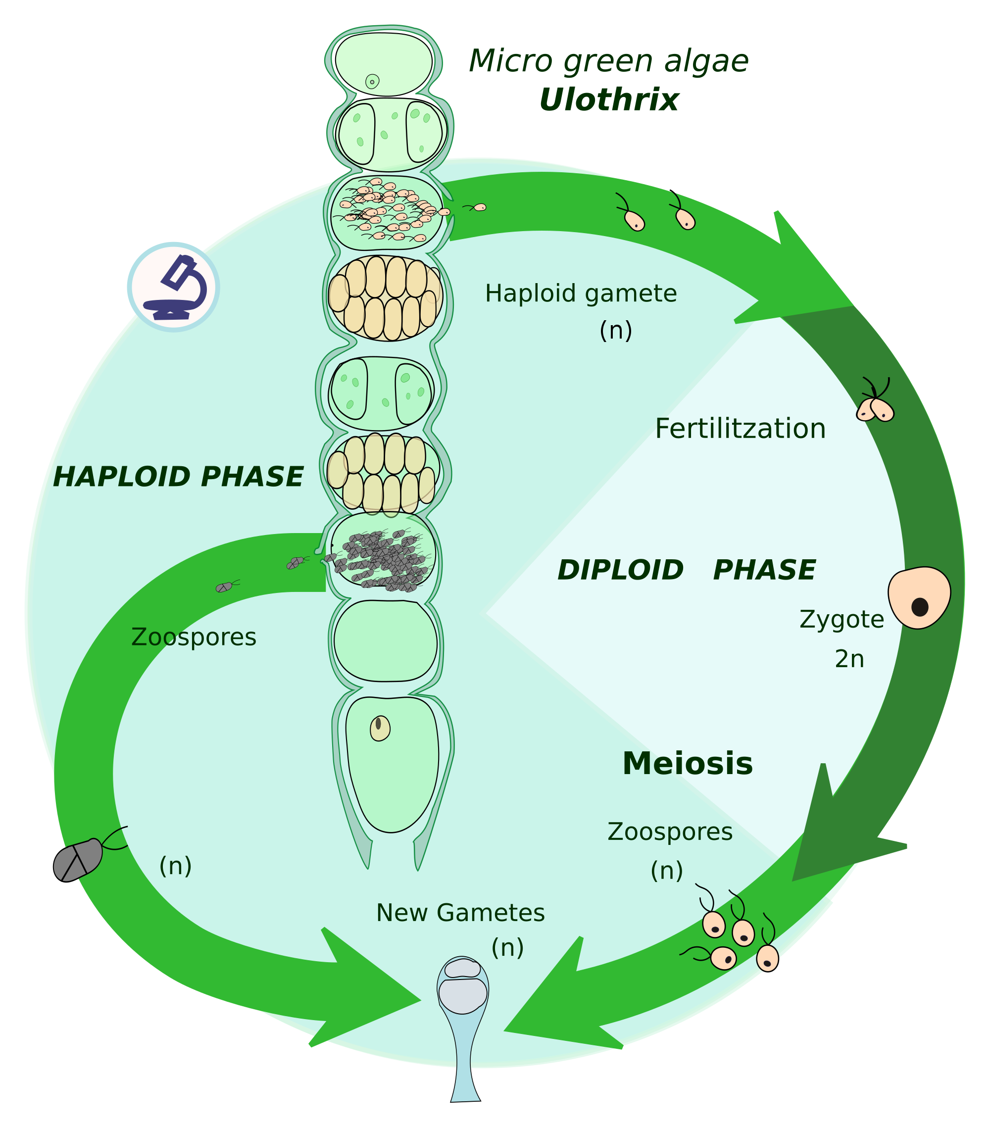 Growth drawing life cycle. Biological wikipedia haplontic cycleedit