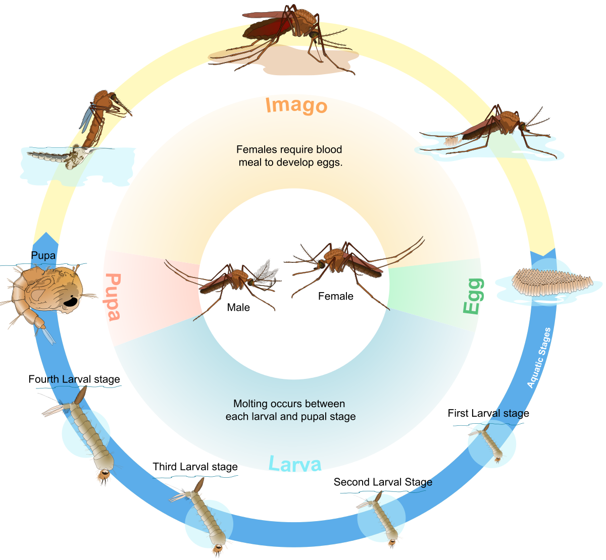 Growth drawing life cycle. Biological wikipedia