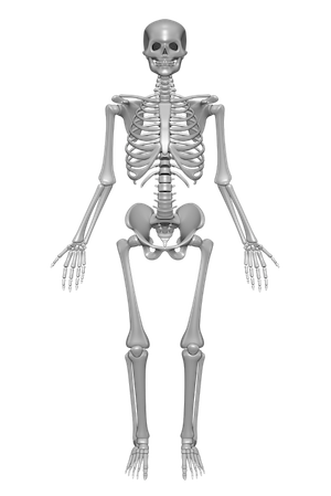 Vector skeleton skeletal system. Actions processes of the