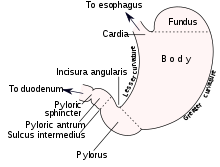 Stomach vector empty. Wikipedia sections of the
