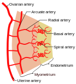 Ovary drawing histological. Uterus wikipedia schematic diagram