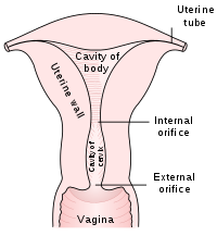 Ovaries drawing normal. Uterus wikipedia