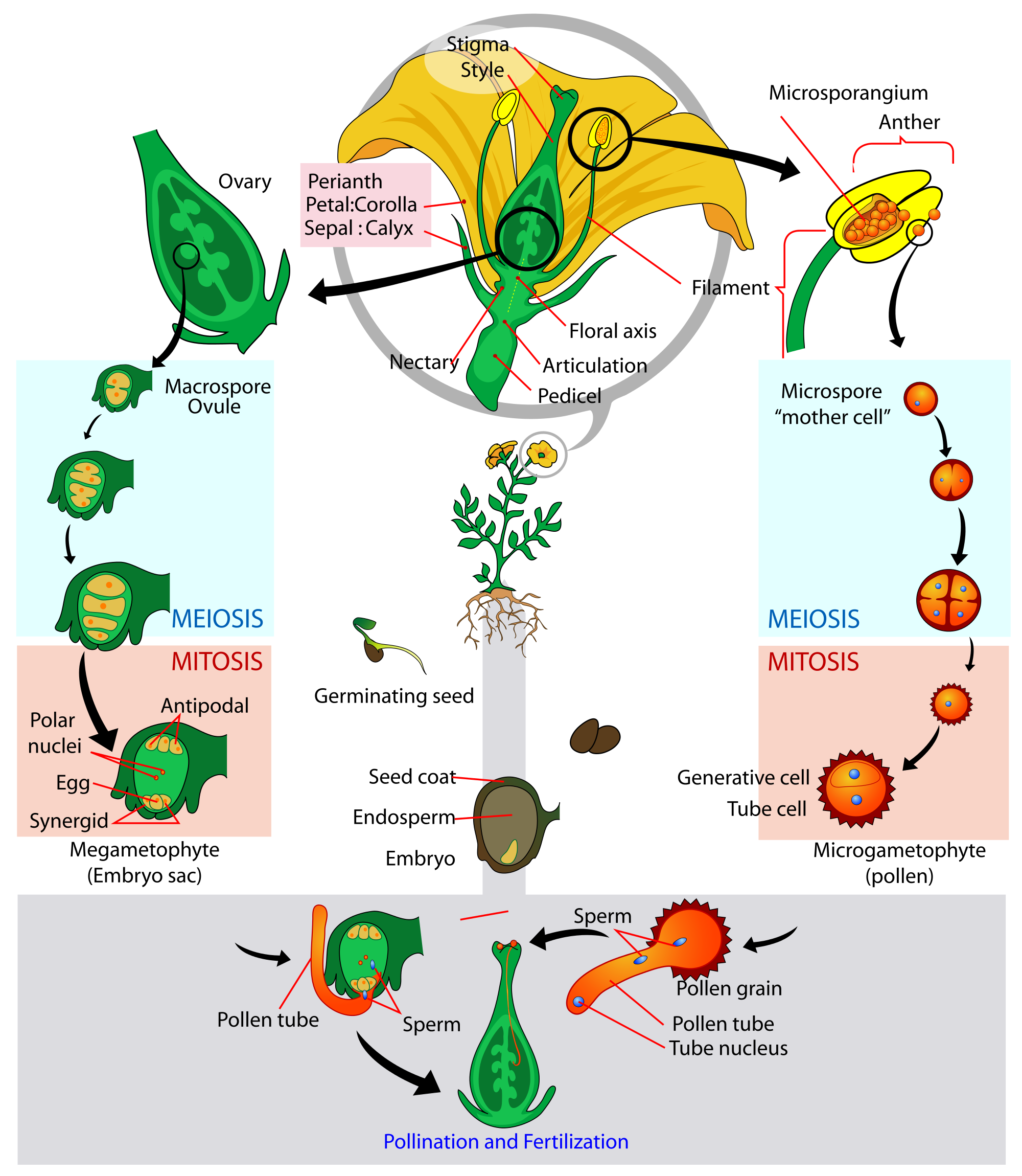 Growth vector tree life cycle. Glossary of plant morphology