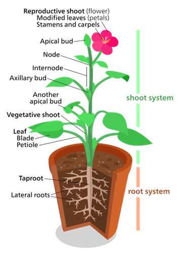 Bud drawing growth. Plant shoot system structure