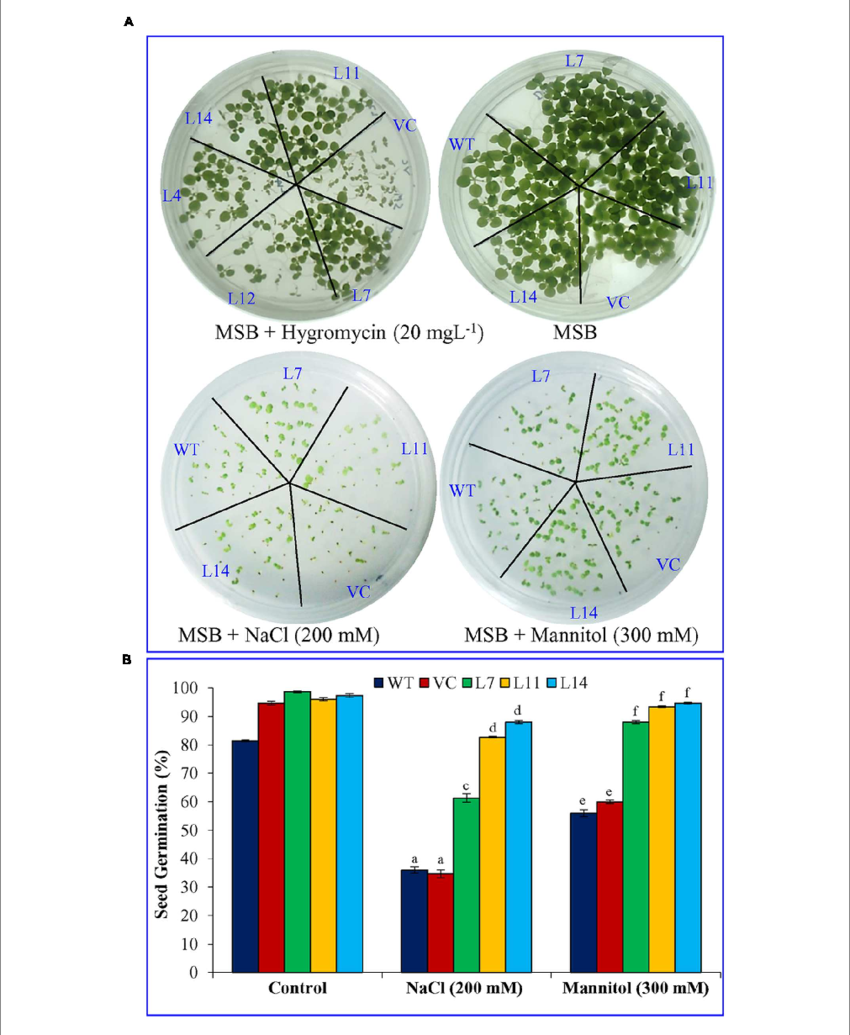 Growth vector seed germination. Analysis of transgenic tobacco
