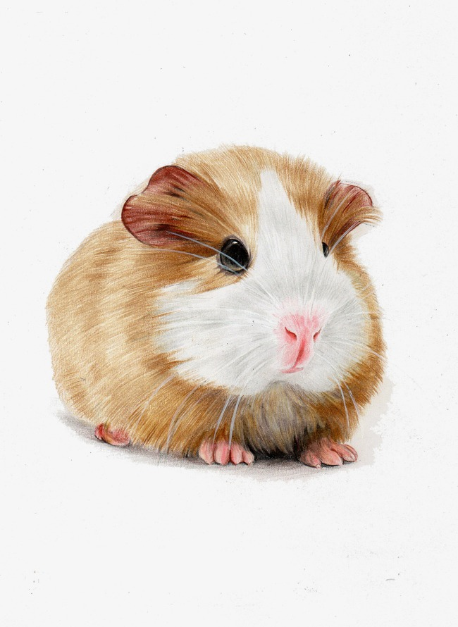 Hamster clipart guinea pig. Hand painted pigs cartoon