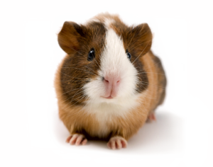 Guinea clipart guinea pig. Choosing name for guineapigowner