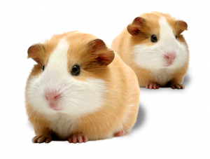 Guinea pig png. Small world big vitamins