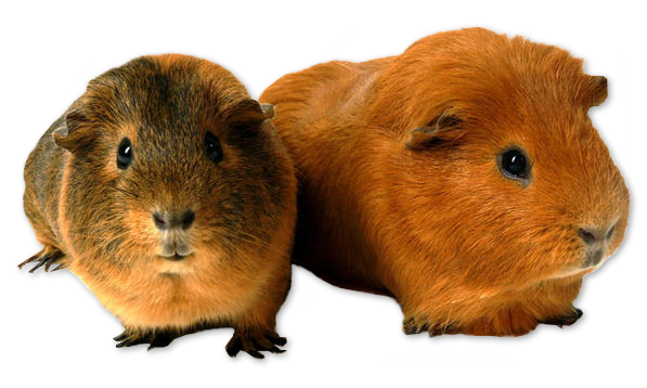 Guinea pig png. By akilajographic on