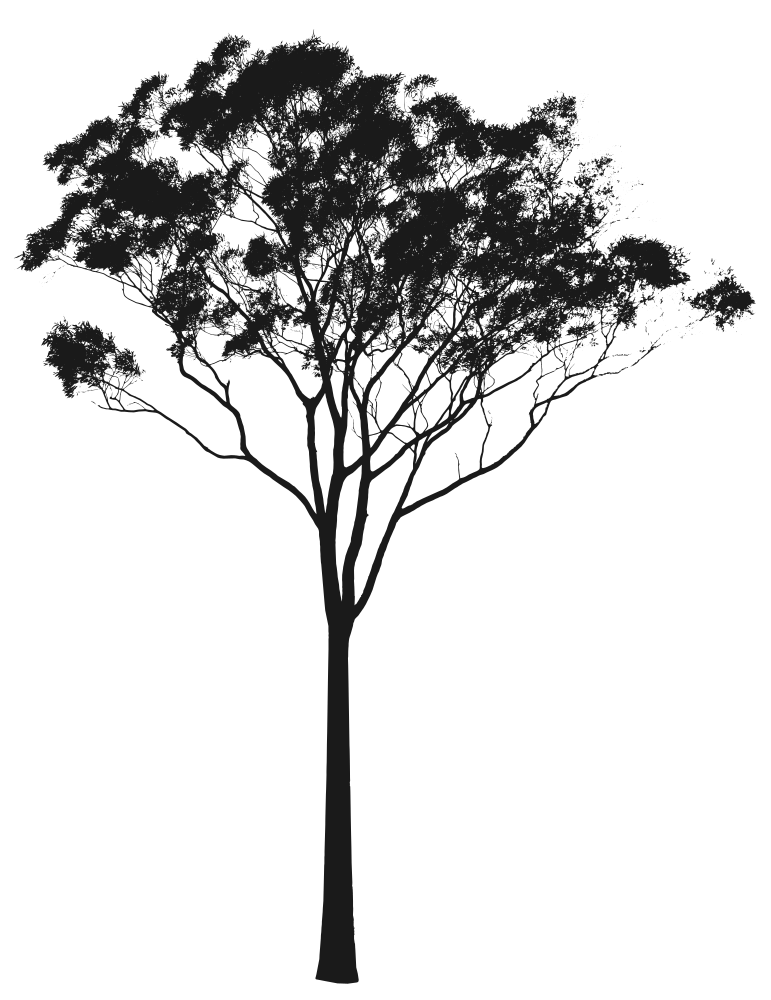 Drawing photoshop black and white. Eucalyptus or gum tree