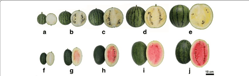 H transparent fruit. Of watermelon cultivars cos