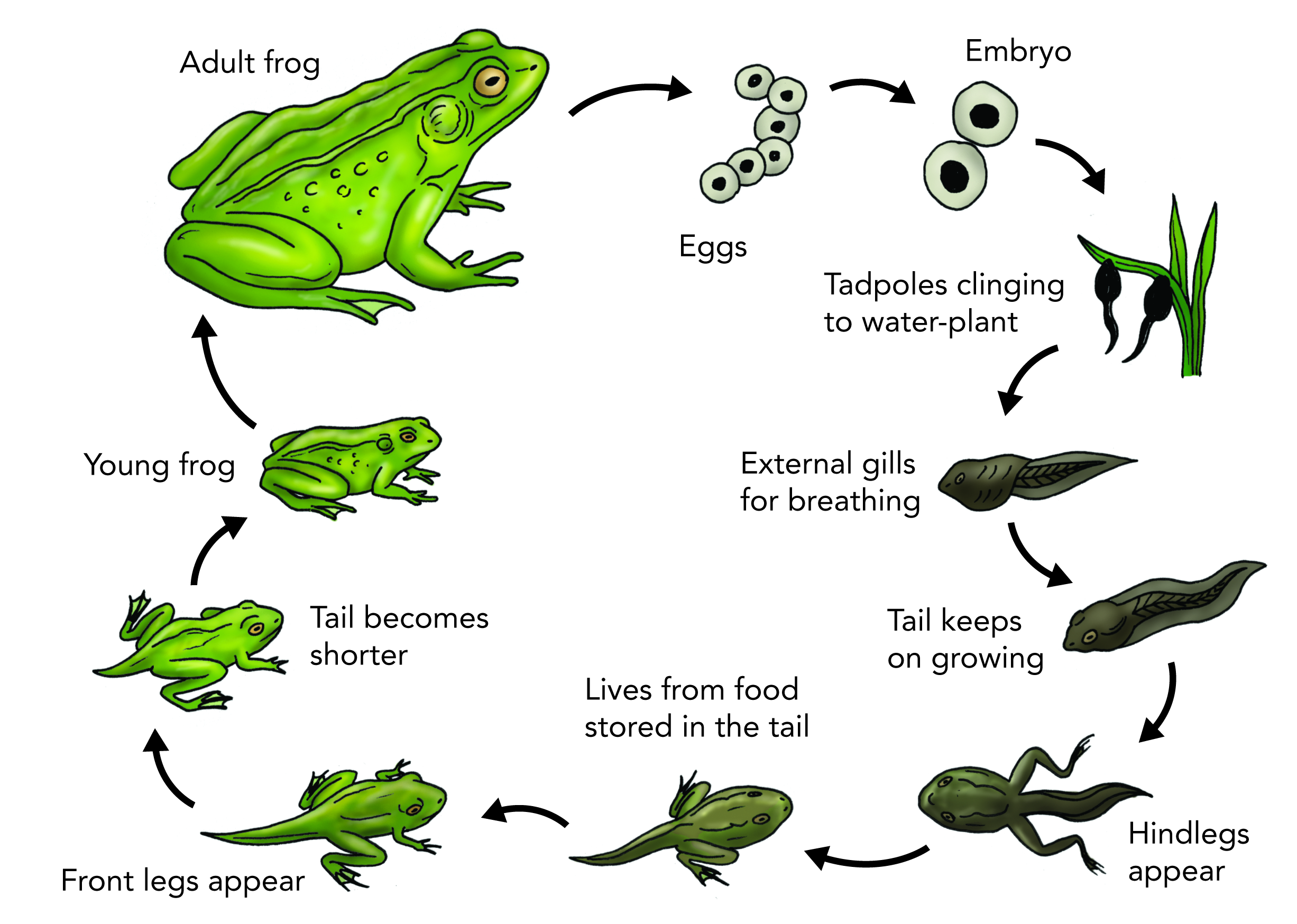 Drawing frogs glass frog. Collection of free amphibiums