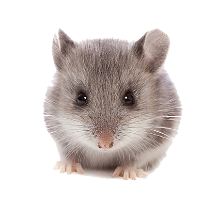 mouse animal png