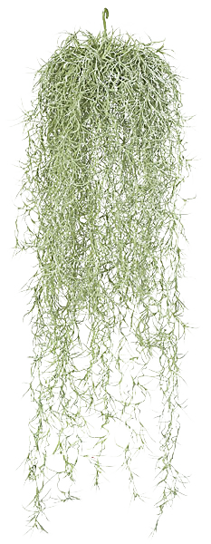 Hanging moss png. Spanish air plants terrariums