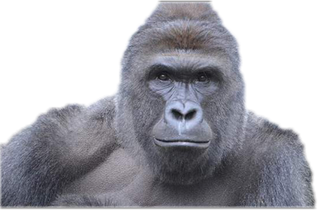 Harambe face png. Freetoedit sticker by gianna
