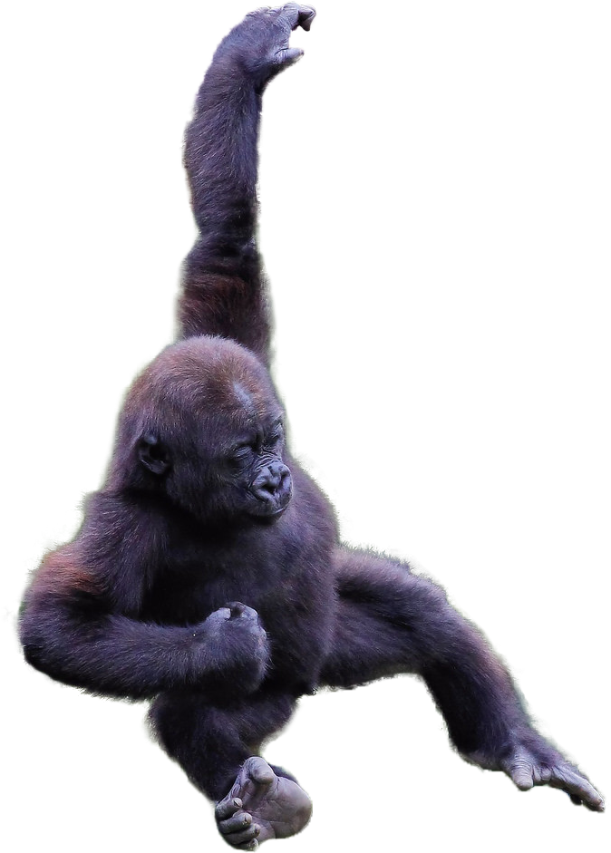Harambe png cutout. On emaze child for