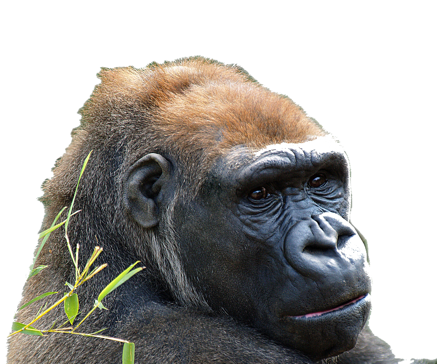 Harambe png cutout. On emaze there is