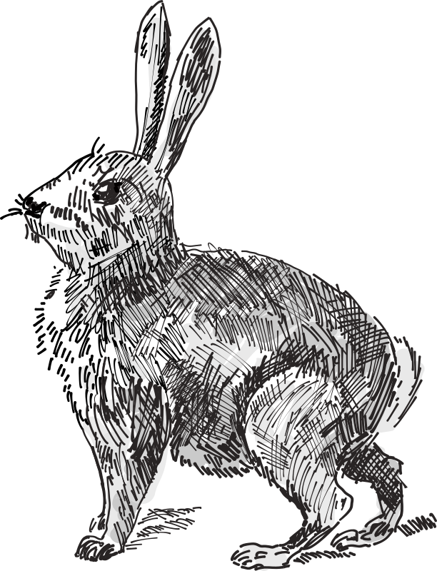 Hares drawing outline. Clipart rabbit medium image