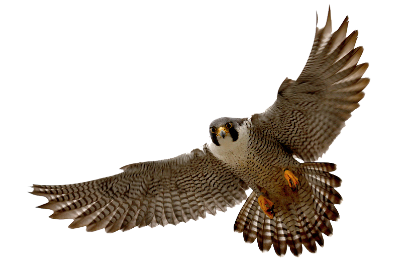 diving hawk png