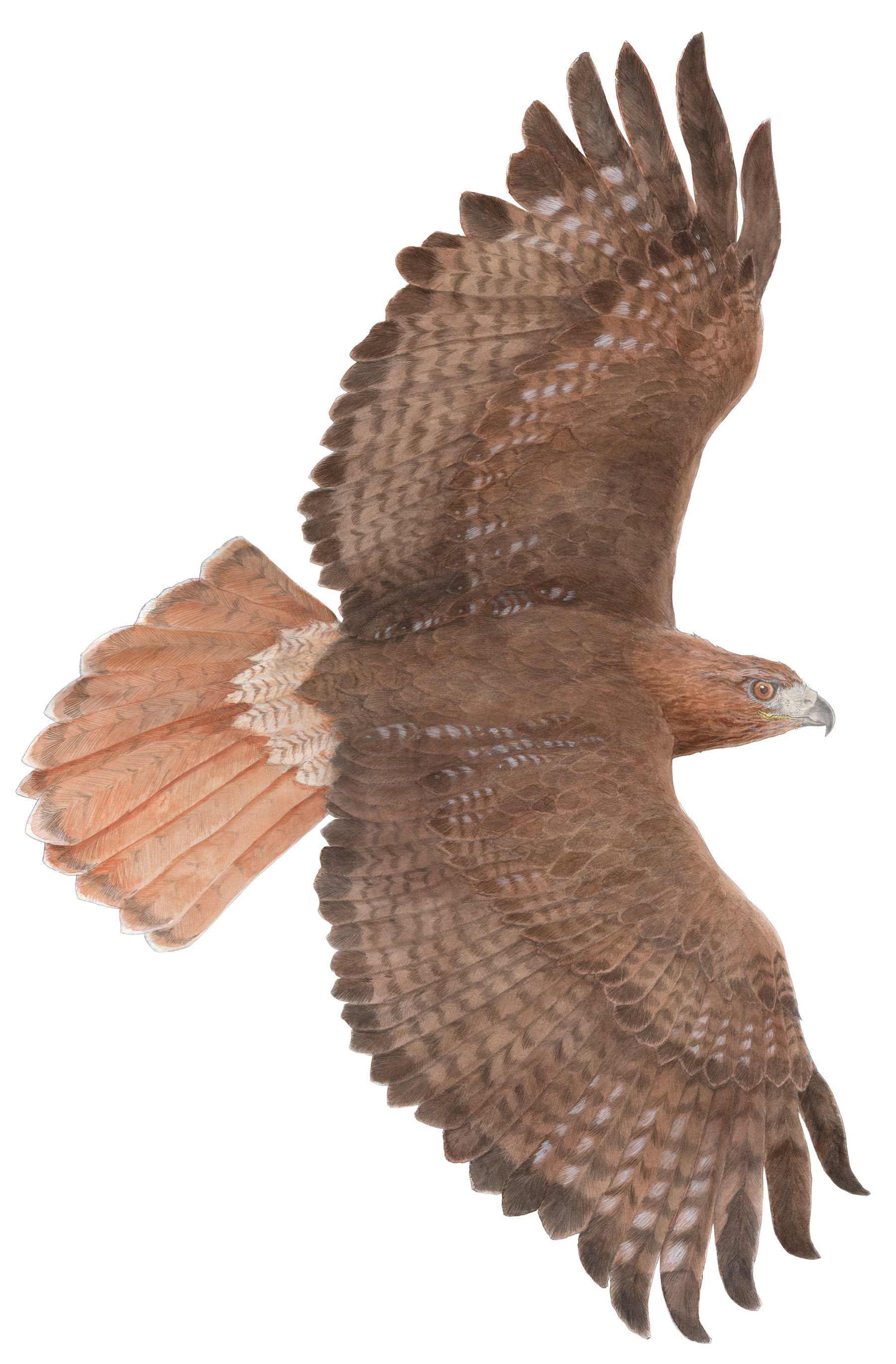 Drawing hawk tailed. Flying at getdrawings com