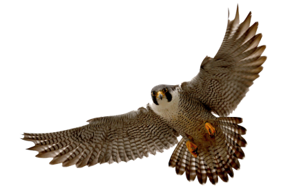 Vector hawks peregrine falcon. Collection of free halk