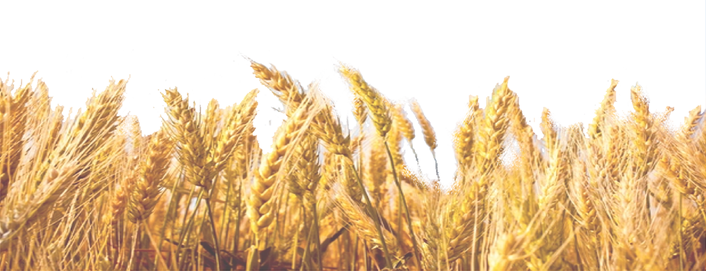 Wheat clipart wheat straw. Field transparent free for