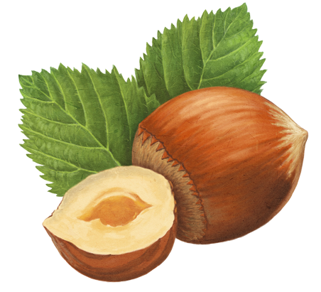 Hazelnut drawing. Contact mononut your message