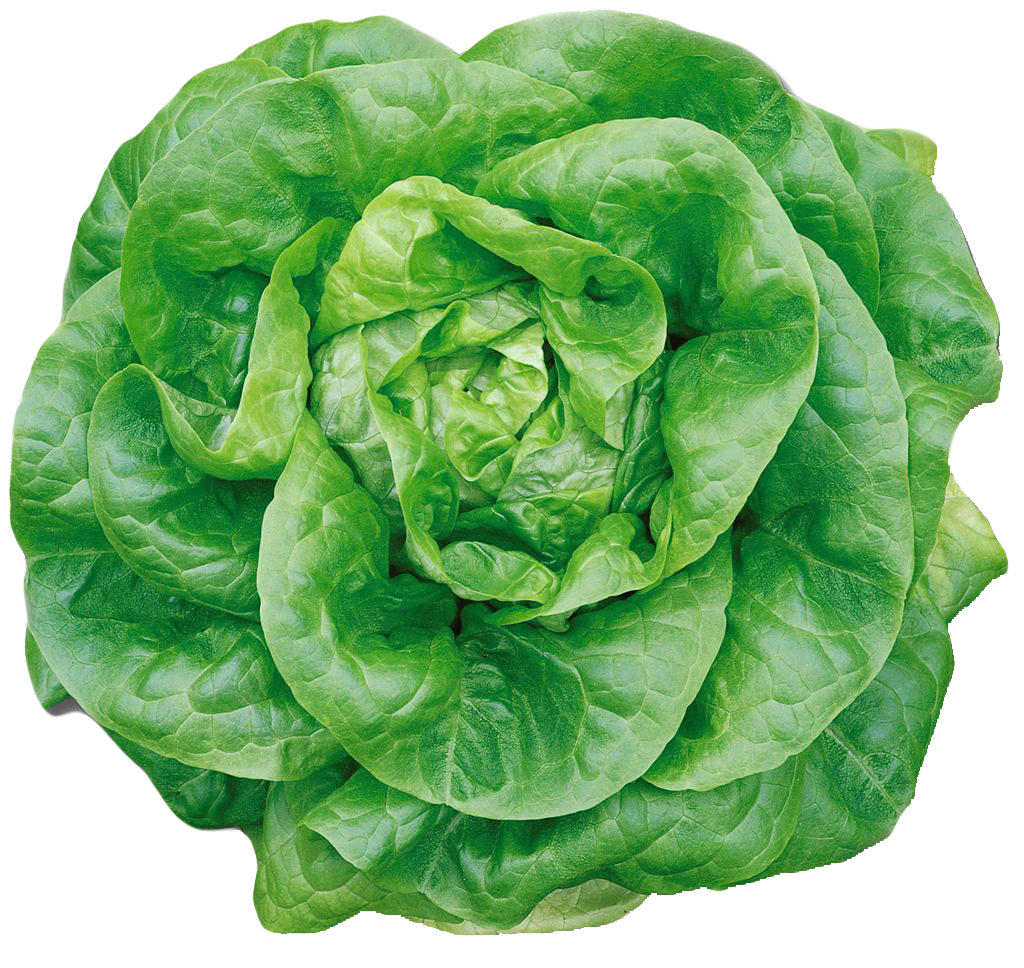 Head of lettuce png. Butterhead image purepng free