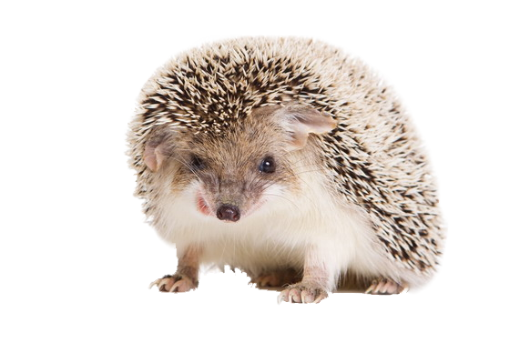 Hedgehog clipart baby hedgehog. Png vector psd peoplepng